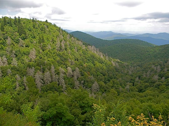 Dying hemlock trees in the Graveyard Fields area of Pisgah National Forest are the victims of the invasive insect known as the hemlock woolly adelgid.