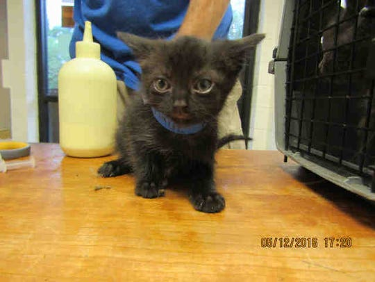 Jet, A164962, is a kitten who needs a home.