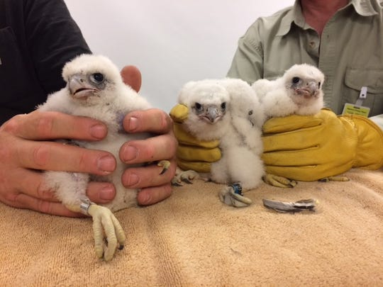 The three peregrine falcon chicks now known as Spark. Blaze and Pirate sport new leg jewelry that will allow researchers to identify and track them.