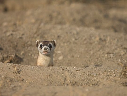 A black-footed ferret peeks out behind a dirt mound