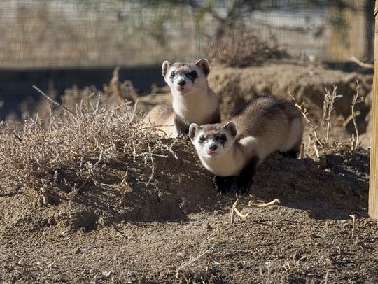 A pair of black-footed ferrets at the National Black-footed