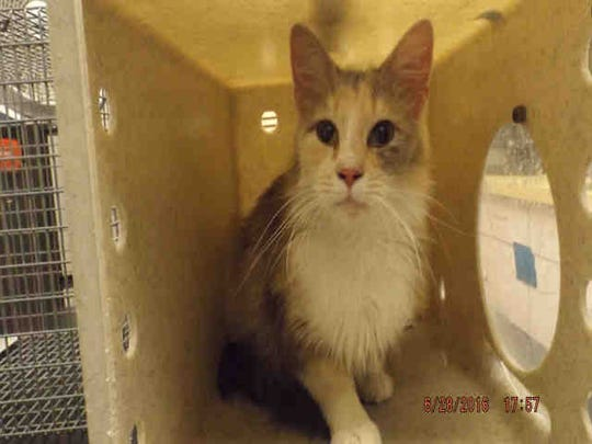 Penelope, ID A166441, is a spayed 1-year-old medium-hair calico cat. She's been at the shelter for more than 20 days.