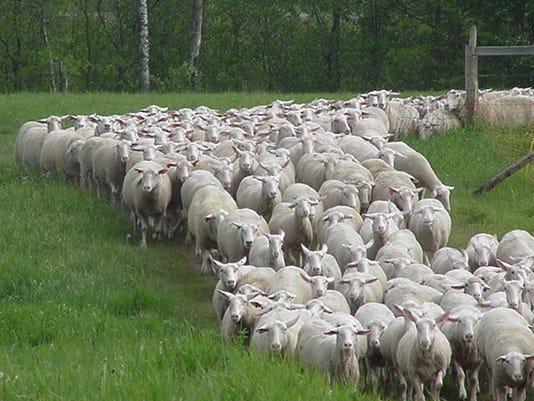 Spooner sheep.jpg