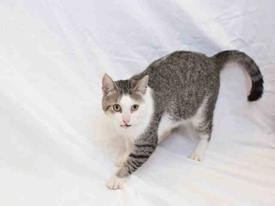 Jonesy, ID A166824, is a gray shorthair tabby who has been at the shelter around a month.