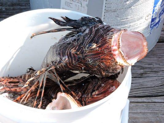 web - lionfish bucket