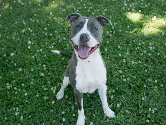 Liza, ID A164890, is a 15-month-old blue and white pit bull mix.