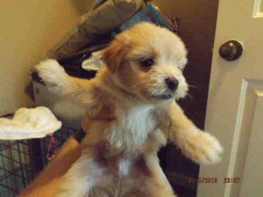 Name: Teddy  ID: A168438  Gender: Male  Breed: Maltese