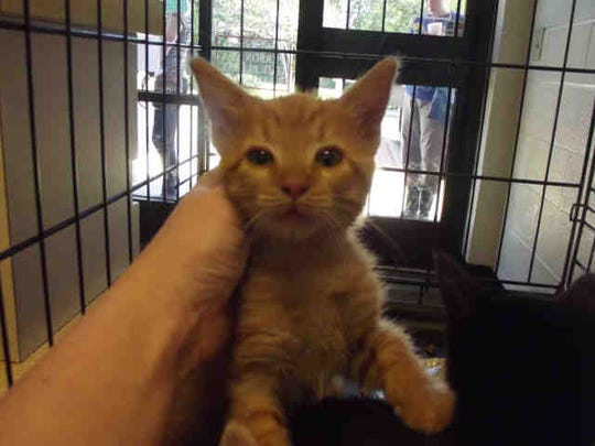 Chip, an orange tabby, is about 12 weeks old and has been at the shelter three weeks.