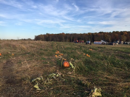 Pumpkins await harvest as the Lawrence family loads