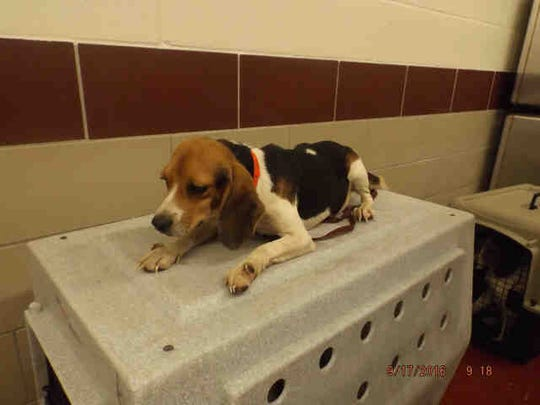 Winifred, ID A168798, is a spayed 1-year-old tricolor beagle who has been at the shelter nearly a month. This sweet beagle also has several siblings who look like her: Sarah, ID A168797; Dewey, ID A168787; Huey, ID A168786; Oliver, ID A168783; and Fat Joe, ID A168781.