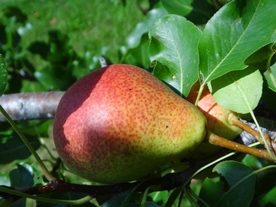 Dawn Morin-Boucher used pears from her own tree for