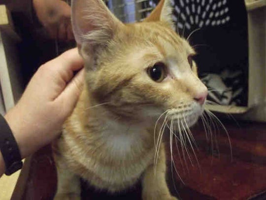 Miles, ID A169809, is a 1-year-old neutered orange