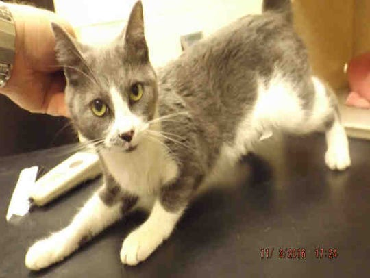 Stormy, ID A170171, is a 1-year-old gray and white