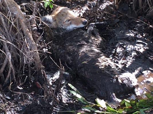 Conservancy coyote.JPG