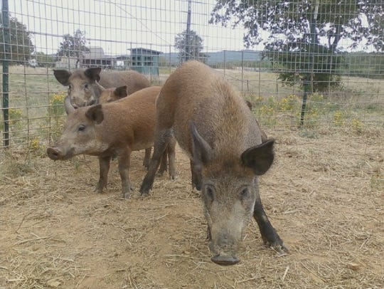 More than 9,300 feral hogs like these caught in a trap