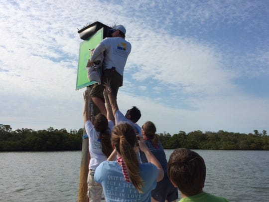 "Conservancy wildlife hospital volunteer Tim Thompson balances on a ladder while returning an osprey chick to its ""new"" nest box on a channel marker while several people on the boat offer a hand to ensure he doesn't fall."