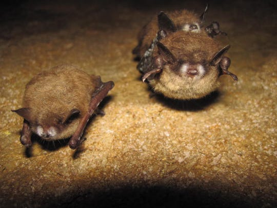 The tri-colored bats shown have white-nose syndrome,