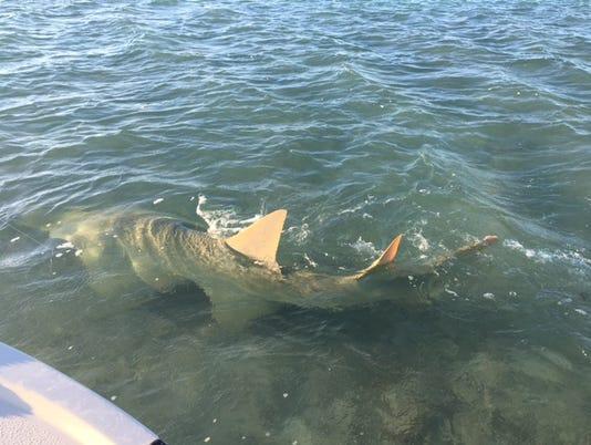 636265058808153356-sawfish.jpg