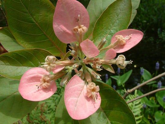 Detail of Pinckneya bloom.