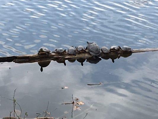 636289814508745432-Turtles-in-the-Ossining-Reservoir.jpg