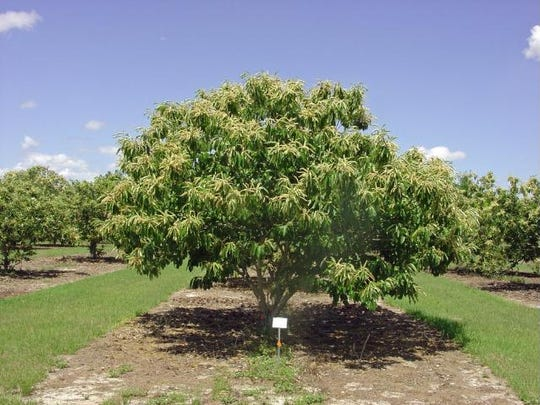 The disease resistant American x Chinese hybrid chestnut tree.