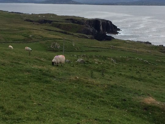 Sheep grazing on a hillside on Clare Island.