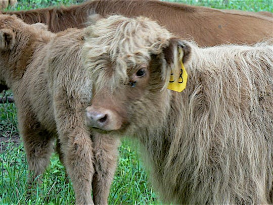 Scottish Highland (now known as Highland) beef have