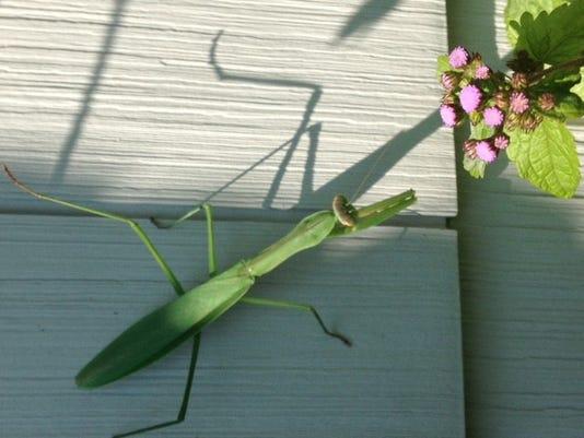 OverGardenFence-Mantis.jpg