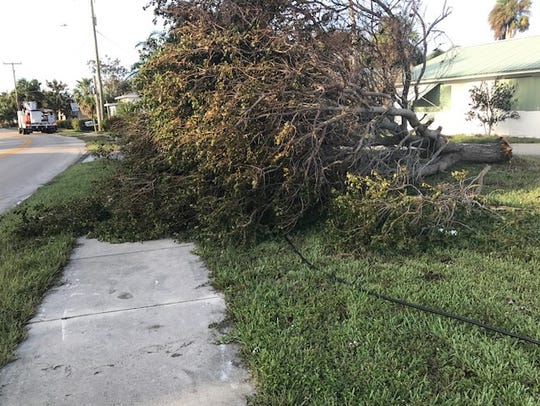 A fallen tree smothers a Comcast line in Vero Beach.