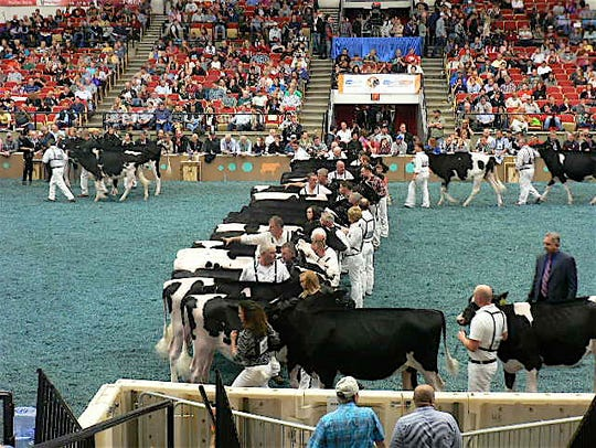 The judge forms his lineup in this class of 52  Holstein