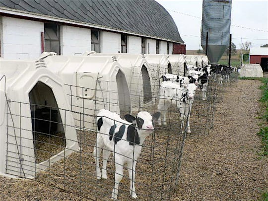 Calves are started in hutches.
