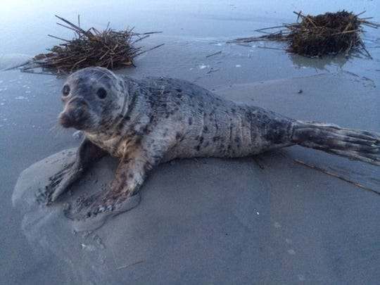 This GIving Tuesday, you can help The Marine Mammal Stranding Center get new wheels for their rescued wildlife, like this seal.