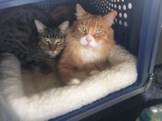 """""""This is Pumpkin, right, and Turbo deciding to ride together in one carrier on our evacuation, even though they each had their own. Both rescue kitties. Pumpkin is 14 and Turbo is 2,"""" Dimitriou wrote."""