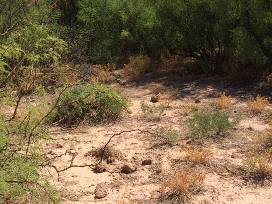 Colt Howland has also administered the herbicide on African Rue invading areas with native vegetation like mesquite.