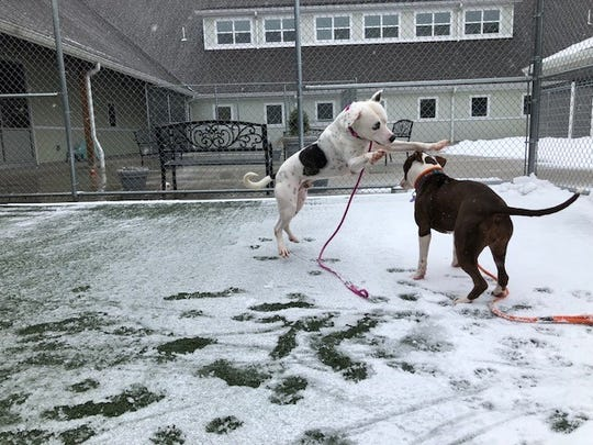 Dogs at St. Hubert's Animal Welfare Center enjoy the snow.