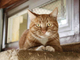 Gingy is a charming 3-year-old short-hair tabby. She