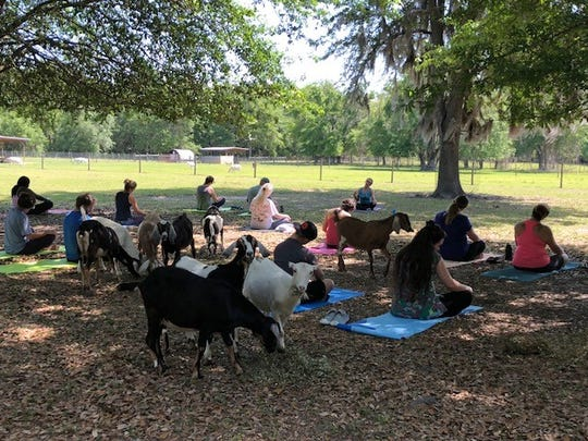 Serenity Acres Farm is holding its second goat yoga session, where yogis can do gentle yoga amid the farm's yearling goats, bringing the trend to the Big Bend.