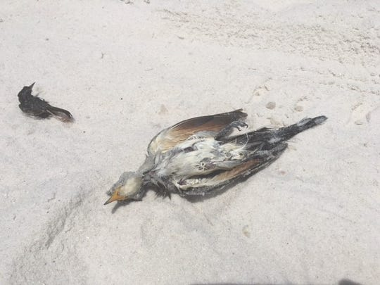 Navarre resident Robin Otto said she's seen between 50-100 birds on Navarre Beach this week, all within a one-mile radius.