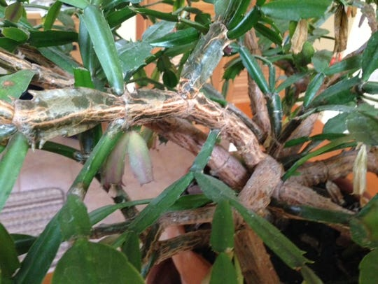Hard woody stems like these on an old Christmas cactus