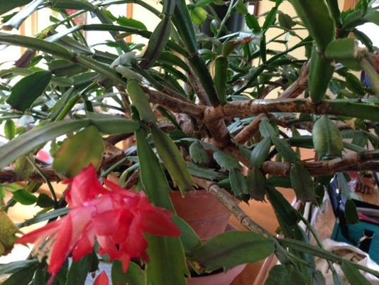 how to keep your christmas cacti healthy - Christmas Catus