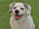 Dodger is an adult male Aussie mix. He was abandoned,