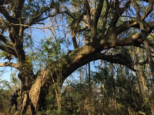 Thought to be the largest tree in Leon County, this live oak has an approximate diameter at breast height of 113 inches and an estimated height of 52 feet.