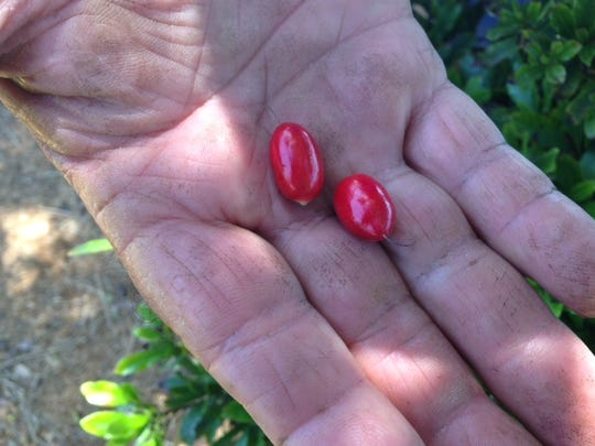 Miracle fruit contains the glycoprotein miraculin,
