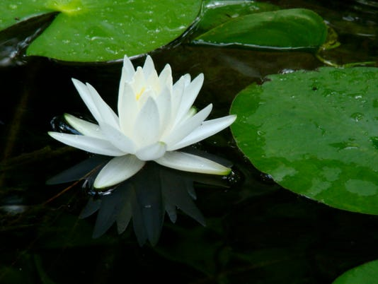 636650847757921730-Close-up-Native-Water-Lily-Photo-by-Brian-Bryson-donna-legare.jpg
