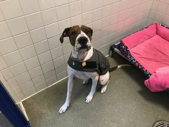 Winnie is a 2 1/2-year-old Sharpei / boxer mix available for adoption at Nashville Humane Association.
