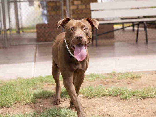Bear is available atthe Arizona Humane Society's Sunnyslope