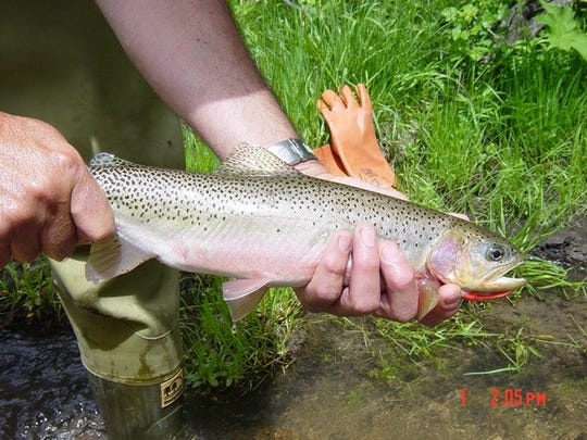 Westslope cutthroat, Montana's state fish, are increasing in the Blackfoot River thanks to 30 years of restoration projects on tributaries that are allowing more to reach spawning grounds. There are more than 1,900 miles of tributaries on the 132-mile long river.