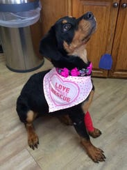 Hope, is a 1-year-old Rottweiler mix who was dumped