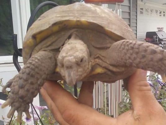 636691640560653934-Buddy-the-tortoise.jpg