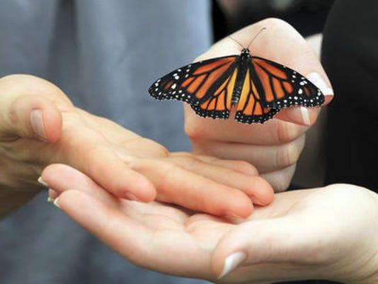 635491395251250006-Monarch-butterflyjpg